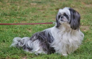 Pekinese on a Leash
