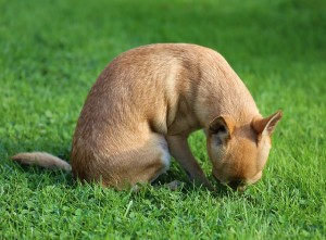 Chihuahua smelling grass
