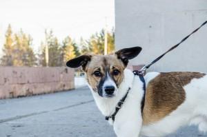 Dog on a Harness
