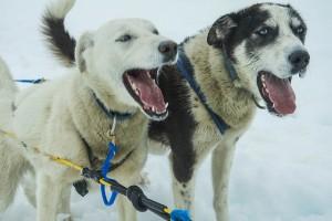 sled dogs barking