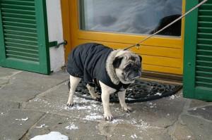 Pug on leash for a walk